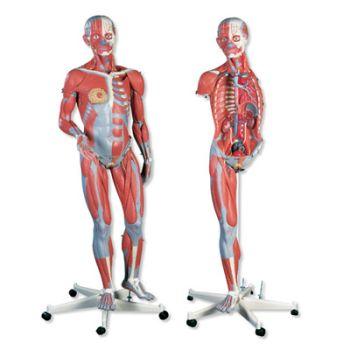 3B modelo anatómico de musculatura completa