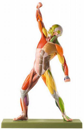 Modelo anatómico de musculatura a colores