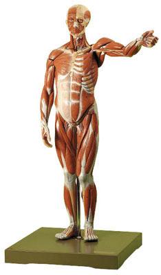 Modelos Anatómicos: Figura humana cuerpo completo en 27 piezas, desmontable Somso