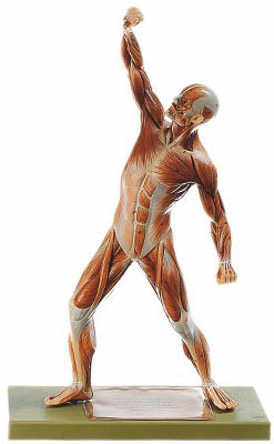 Modelos Anatómicos: Figura humana cuerpo completo Somso