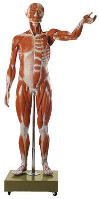 Modelos Anatómicos: Figura humana cuerpo completo en 36 piezas, desmontable Somso