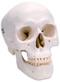 3B Cráneo Clásico, 3 partes