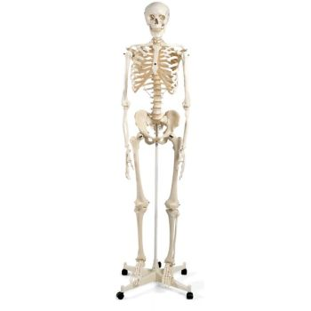 3B Esqueleto clásico Stan